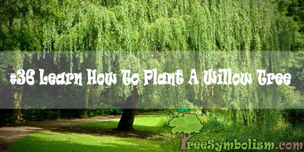 #36 Learn How To Plant A Willow Tree