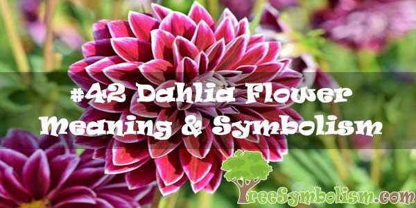 #42 Dahlia Flower : Meaning & Symbolism