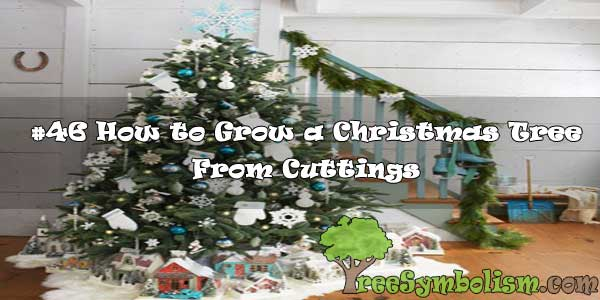 #46 How to Grow a Christmas Tree From Cuttings