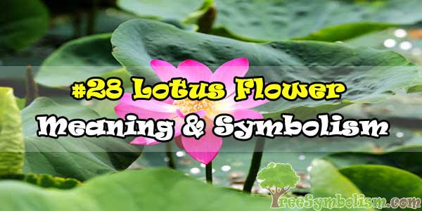 #28 Lotus Flower : Meaning & Symbolism