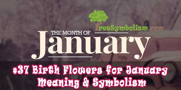 #37 Birth Flowers for January - Meaning & Symbolism
