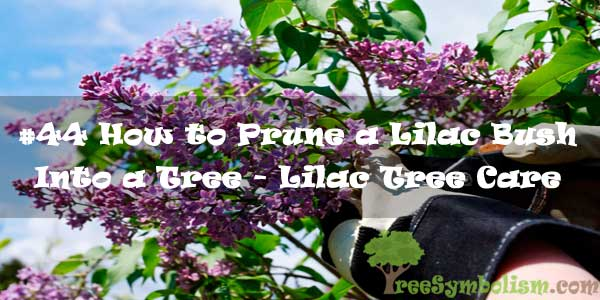 #44 How to Prune a Lilac Bush Into a Tree - Lilac Tree Care