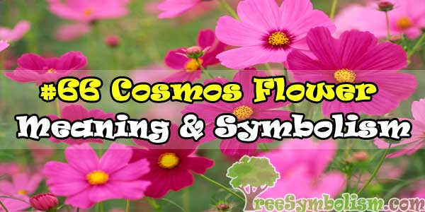 #66 Cosmos Flower : Meaning & Symbolism