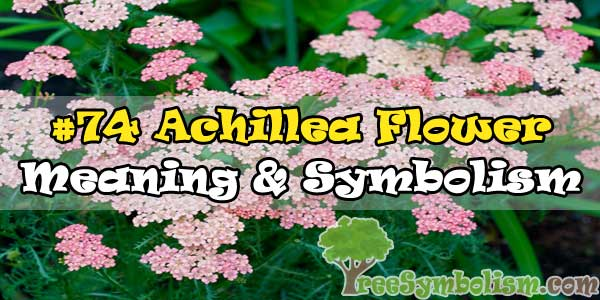 #74 Achillea Flower : Meaning & Symbolism