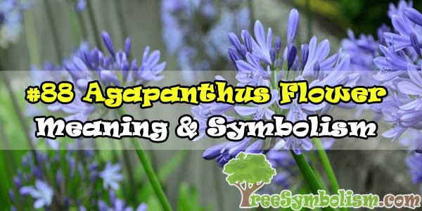 #88 Agapanthus Flower - Meaning & Symbolism