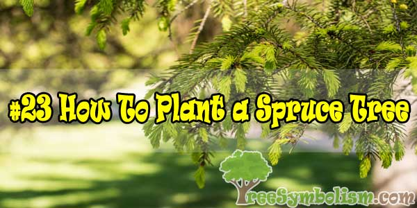 #23 How To Plant a Spruce Tree