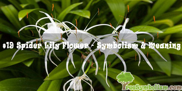 #19 Spider Lily Flower - Symbolism & Meaning