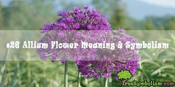#26 Allium Flower Meaning & Symbolism