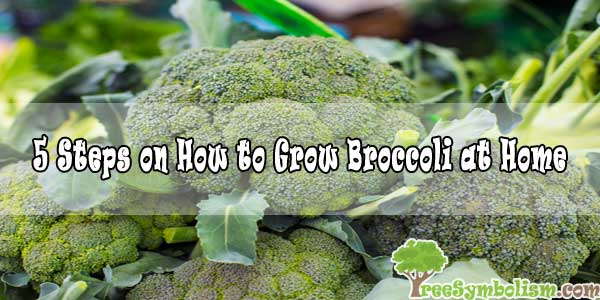 5 Steps on How to Grow Broccoli at Home in 2020