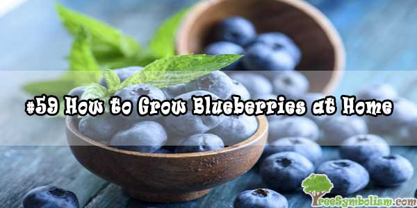 #59 How to Grow Blueberries at Home