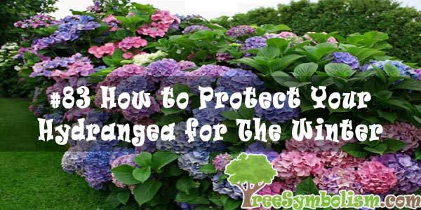 #83 How to Protect Your Hydrangea for The Winter