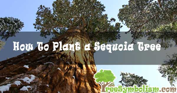 How To Plant a Sequoia Tree