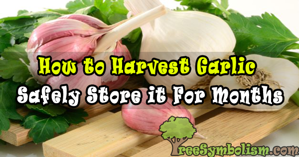 How to Harvest Garlic & Safely Store it For Months to Come