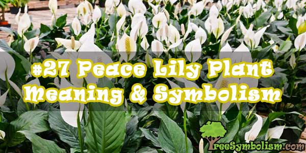 #27 Peace Lily Plant - Meaning & Symbolism