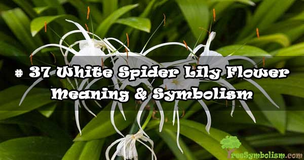 # 37 White Spider Lily Flower - Meaning & Symbolism