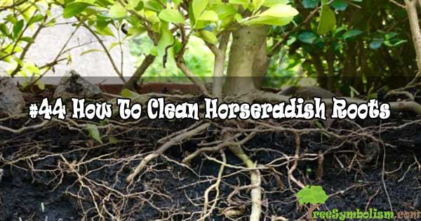 #44 How To Clean Horseradish Roots