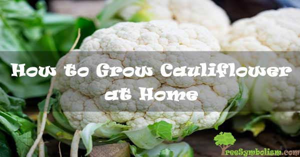 How to Grow Cauliflower at Home [2020]