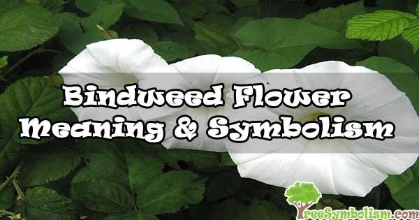 #39 Bindweed Flower - Meaning & Symbolism