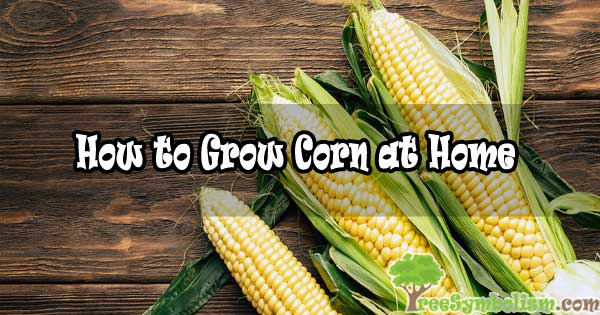 How to Grow Corn at Home