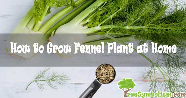 How to Grow Fennel Plant at Home [2020]