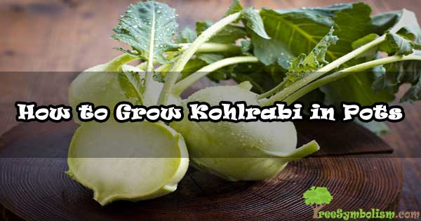 How to Grow Kohlrabi in Pots