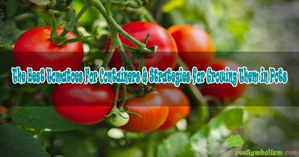 The Best Tomatoes For Containers & Strategies for Growing Them in Pots