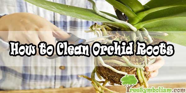 How to Clean Orchid Roots