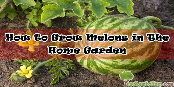 How to Grow Melons in The Home Garden