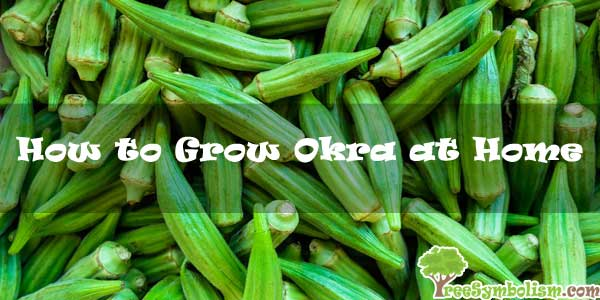 How to Grow Okra at Home [2020]