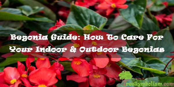 Begonia Guide: How To Care For Your Indoor & Outdoor Begonias