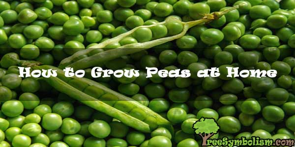 How to Grow Peas at Home [2020]