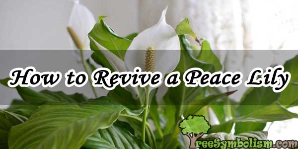 How to Revive a Peace Lily